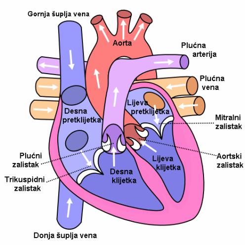 Heart_labelled_large_prevedeno