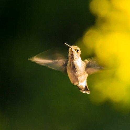 hummingbirdgoldenrod_160902-5368