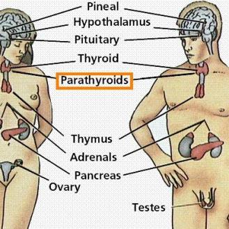 parathyroid_gland_diagram1